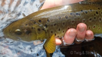 Ruby spotted wild Brown Trout