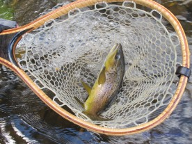 A brown trout in a wooden fishing net.