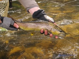 Two hands holding a brown trout