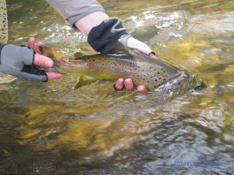 two hands releasing a brown trout into the water