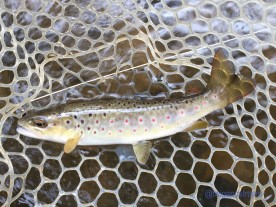 Spotted wild brown trout.