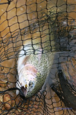 Catch an elusive trout