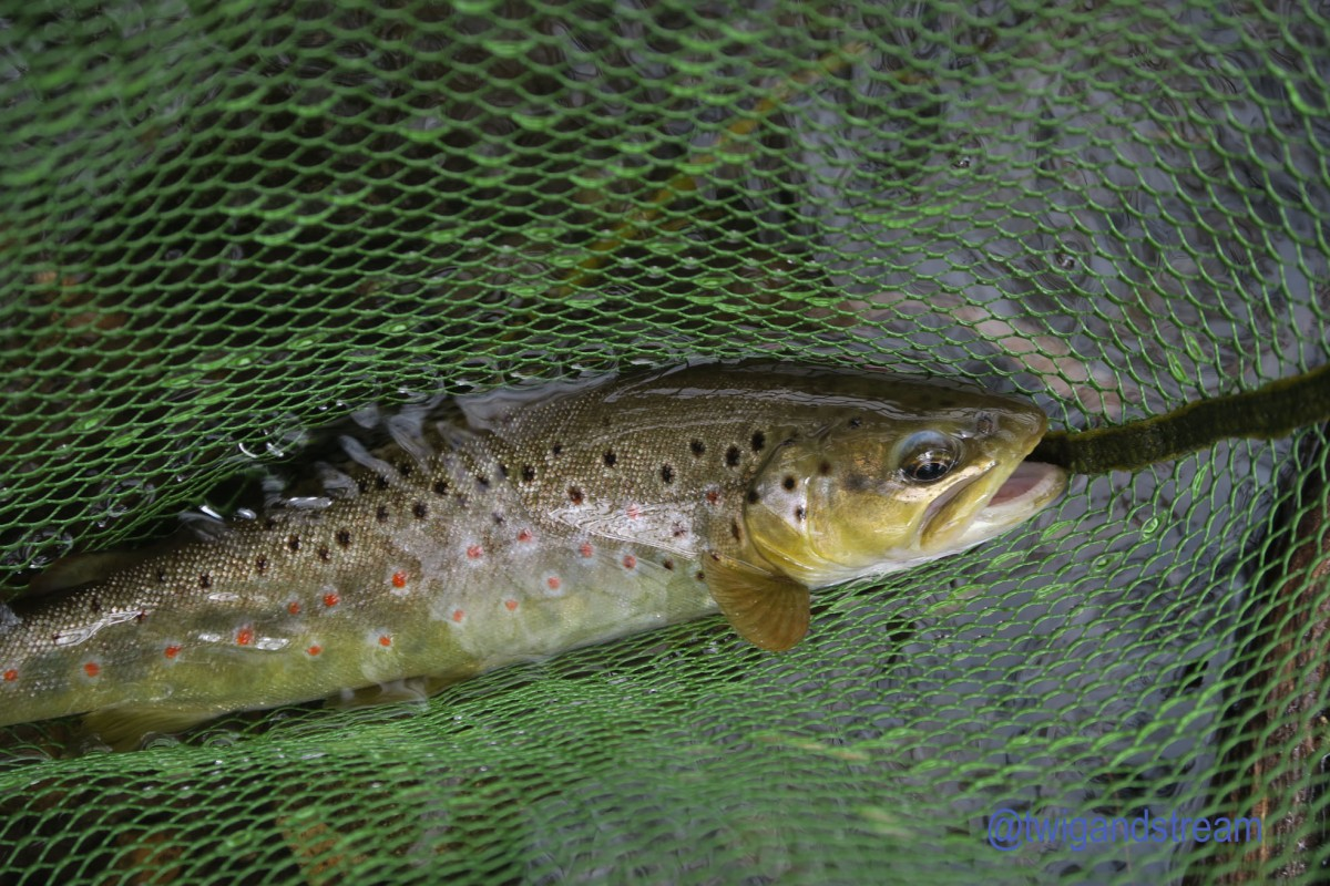Fly caught trout in a fishing net