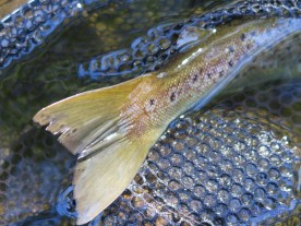 Tail of a brown trout