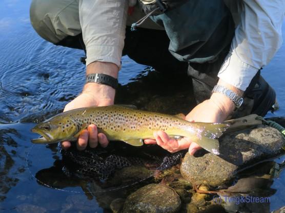 Brown trout golden