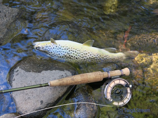 Brown speckled trout