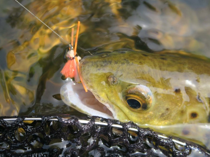 Wild Brown Trout fell to a Foam Hopper