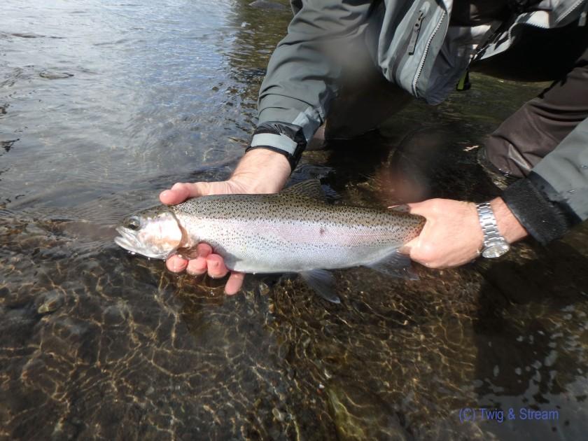 Hands holding a fine fresh run rain bow trout