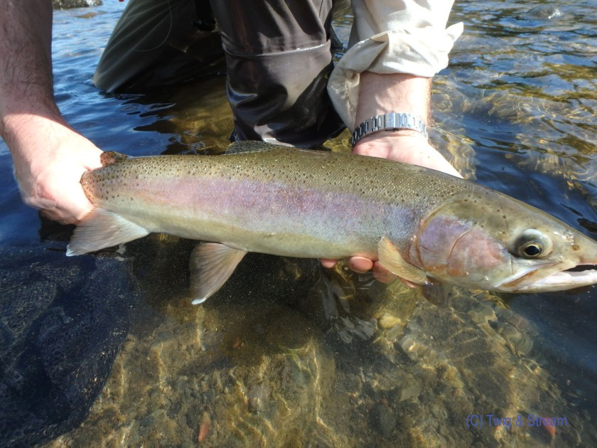 Image of a 4lb Rainbow that fell to a natura nymph