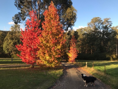 Autumn trees, country track and a farm dog
